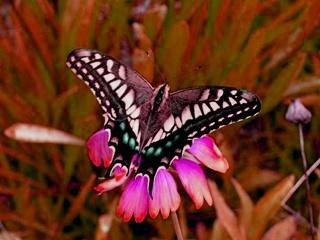 butterfly_HSVplus150.jpg