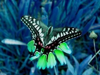 butterfly_HSVplus60.jpg