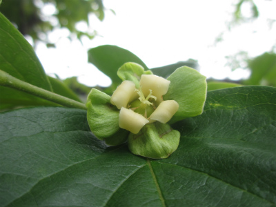 横野柿の花