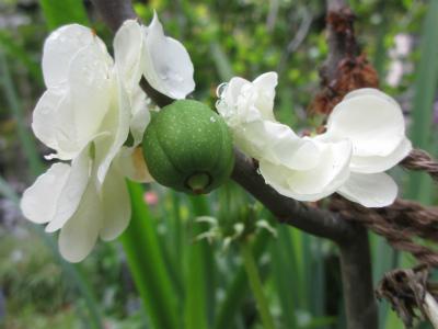 木瓜 白寿