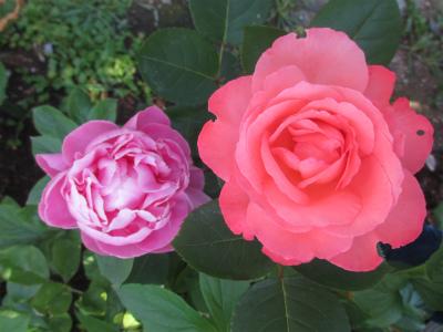 芍薬とピンクパンサー