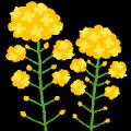 flower_nanohana[1]