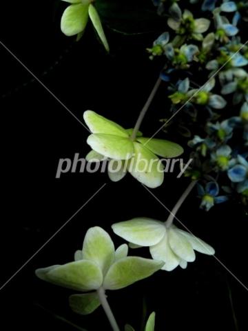 3762211 紫陽花
