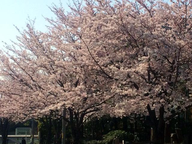 2015年3月30日東京の桜が遂に満開1 by占いとか魔術とか所蔵画像