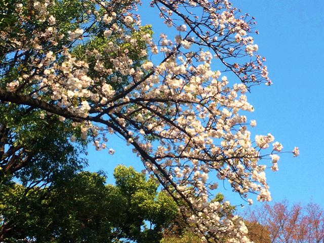 2015年3月30日東京の桜が遂に満開3 by占いとか魔術とか所蔵画像