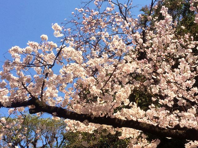 2015年3月30日東京の桜が遂に満開4 by占いとか魔術とか所蔵画像