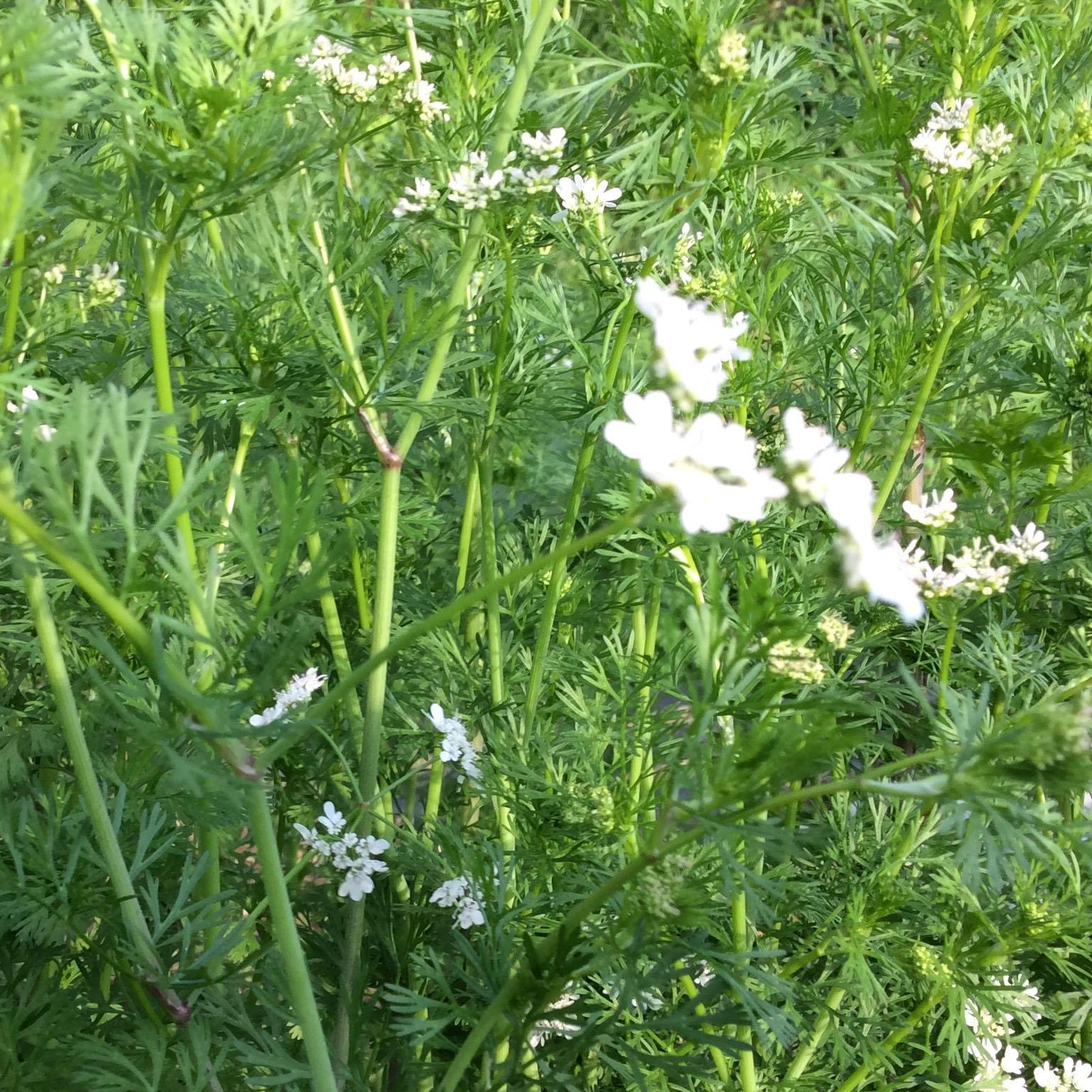 コリアンダーの花