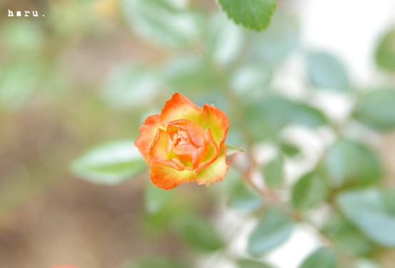 小さな薔薇のお誘い。