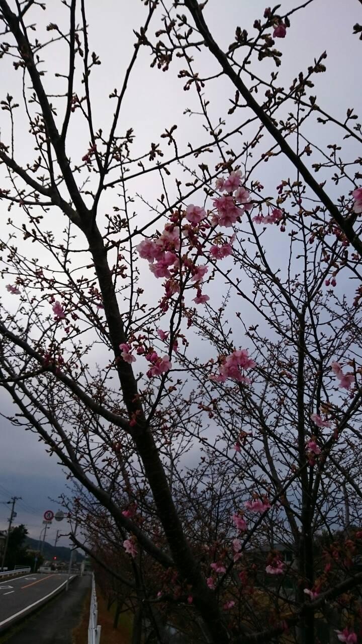 saka3-kawazusakura-2015-2.jpg