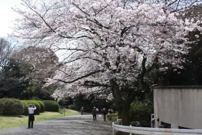 17坂道のソメイヨシノ
