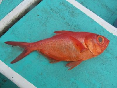 赤いキンメ