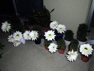 150613_3182サボテンの花が咲きましたwideVGA
