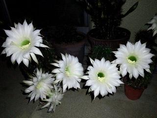 150613_3181サボテンの花が咲きましたVGA