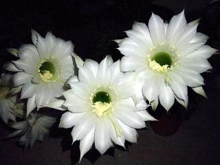 150613_3179サボテンの花が咲きましたzoomVGA