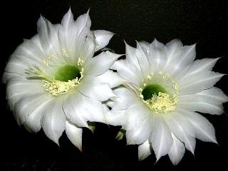 150613_3180サボテンの花が咲きましたzoomVGA