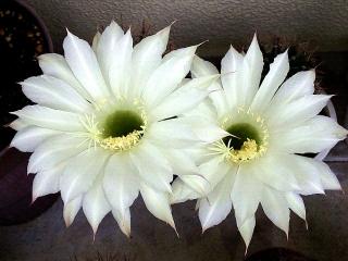 150614_3194今朝のサボテンの花zoomVGA