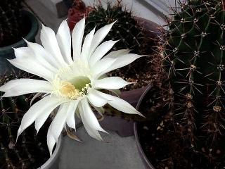 150626_3251今朝のサボテンの花VGA