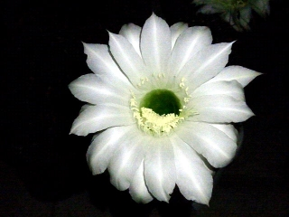 150706_3300今夜咲いた子サボテンの花VGA