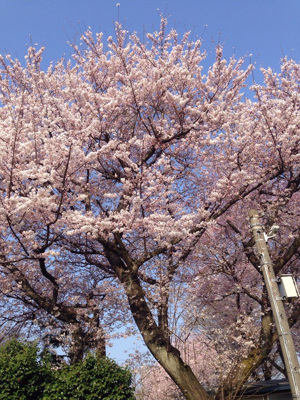 熟女NHヘルス孃・レディー舞の袖振り合うも他生の縁|あっと言う間に桜の季節