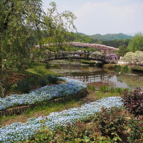 ネモフィラ&うすべに橋【あしかがフラワーパーク】