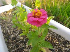 [写真]プランターに一輪咲いたピンク色の百日草