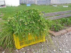 [写真]受付ハウス前に置かれたアランの餌(雑草)が山盛りの黄色いカゴ