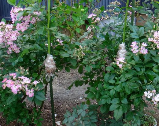 s-693-5バラの取り木