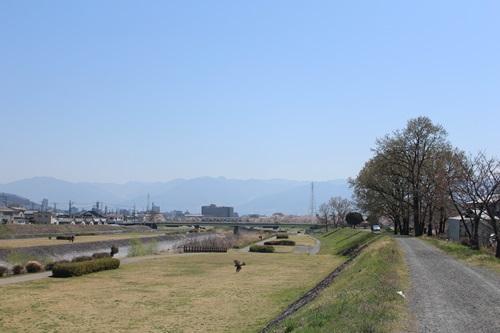 クウちゃんとお花見散歩(河川敷)