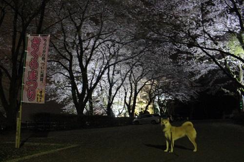 夜桜と夜景(里山にて)