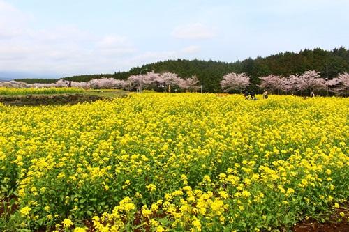 柴吉ちゃんと菜の花畑を散策♪