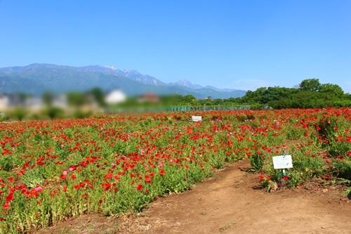 景色も楽しめるポピー畑