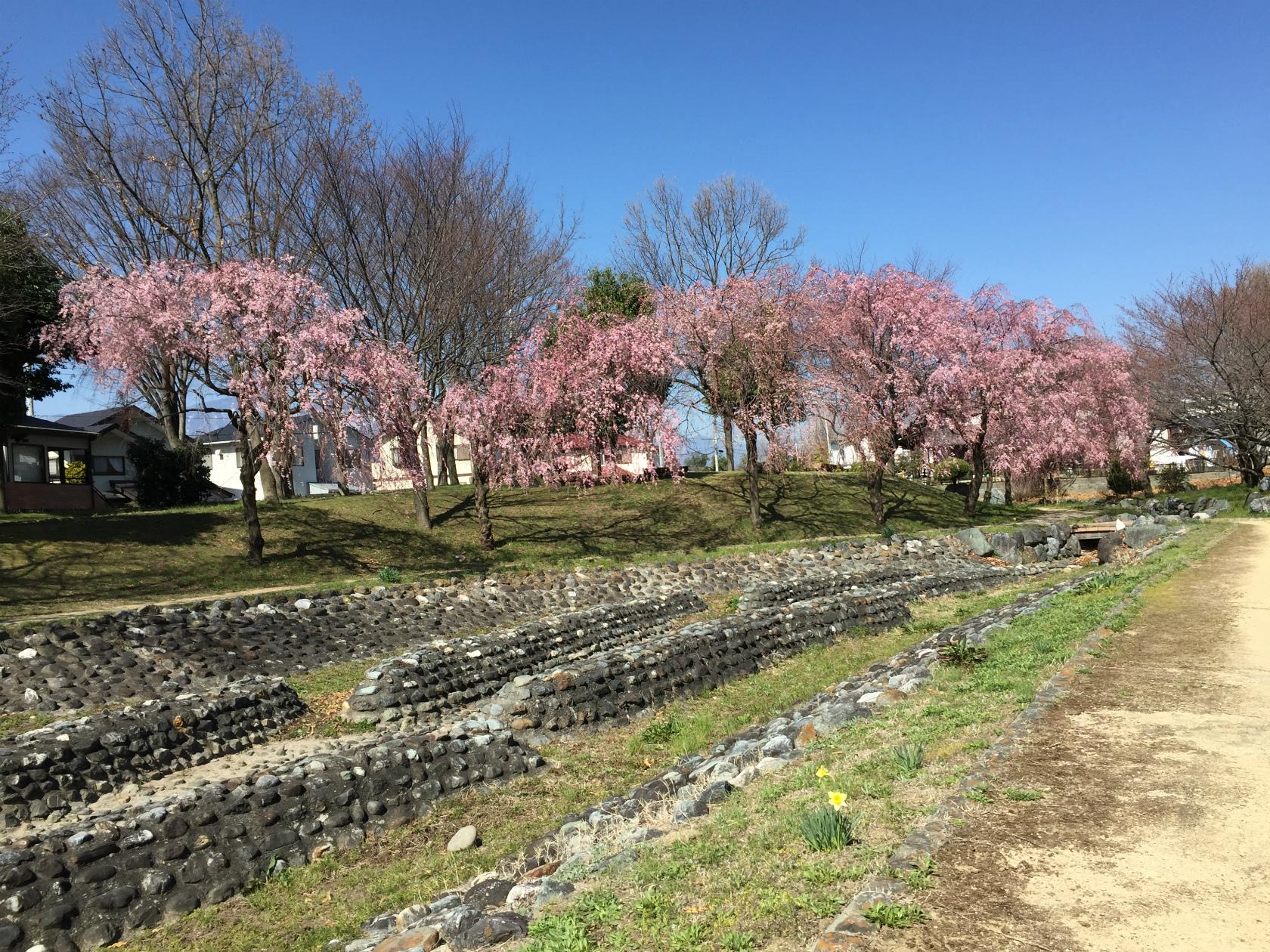 河川敷のしだれ桜