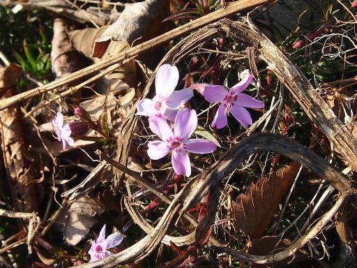 20150221・植物04・シバザクラ(ピンク)