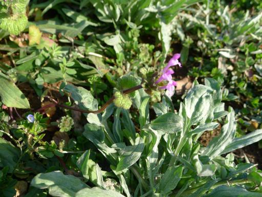 20150228・植物04・ホトケノザ