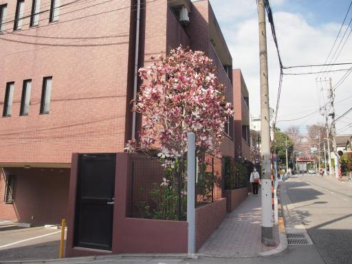 20150328・桜坂植物02・シモクレン