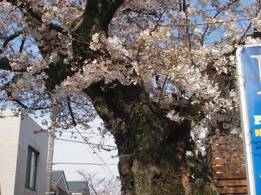 20150328・桜坂植物14・ソメイヨシノ