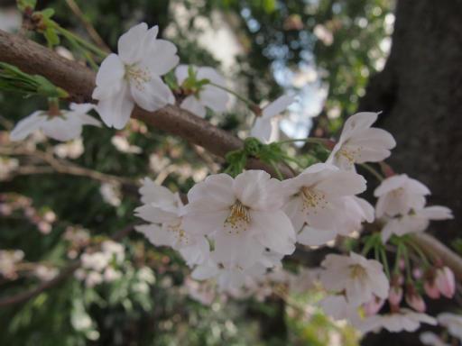 20150328・桜坂植物09・ソメイヨシノ