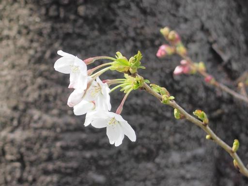 20150328・桜坂植物11・ソメイヨシノ