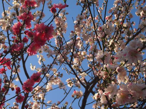 20150328・桜坂植物16・ハナモモ