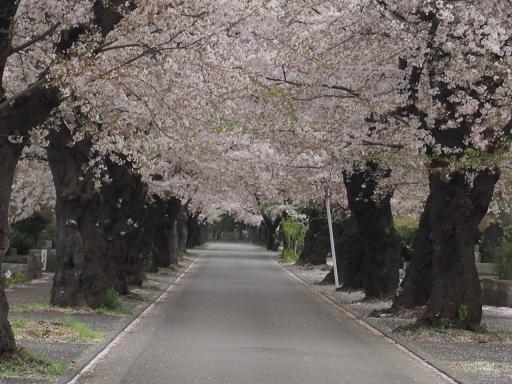 20150523・桜05・0404・多磨霊園