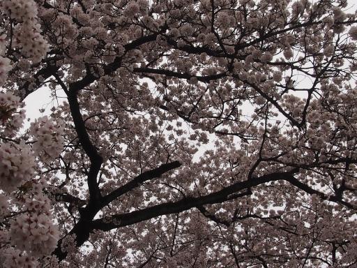 20150523・桜03・0404・小金井公園
