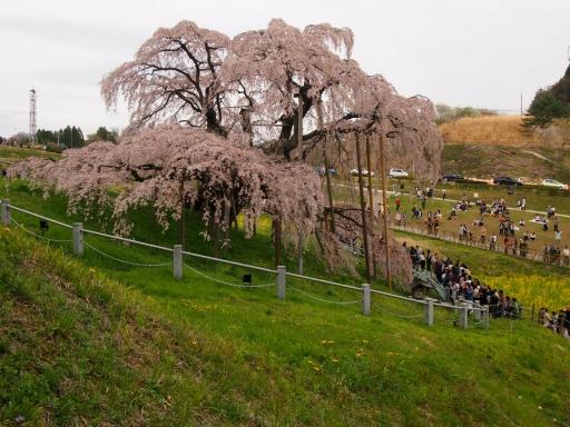 20150523・桜11・0419・三春滝桜