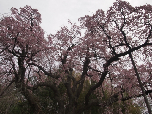 20150523・桜10・0419・郡山地蔵桜