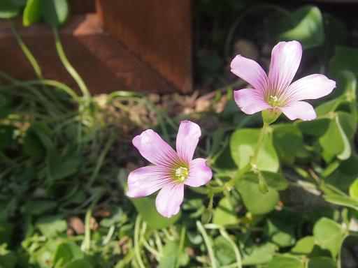 20150426・近所植物01・ムラサキカタバミ