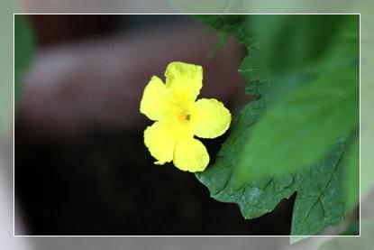 ゴーヤの赤ちゃん&新しいお花たち